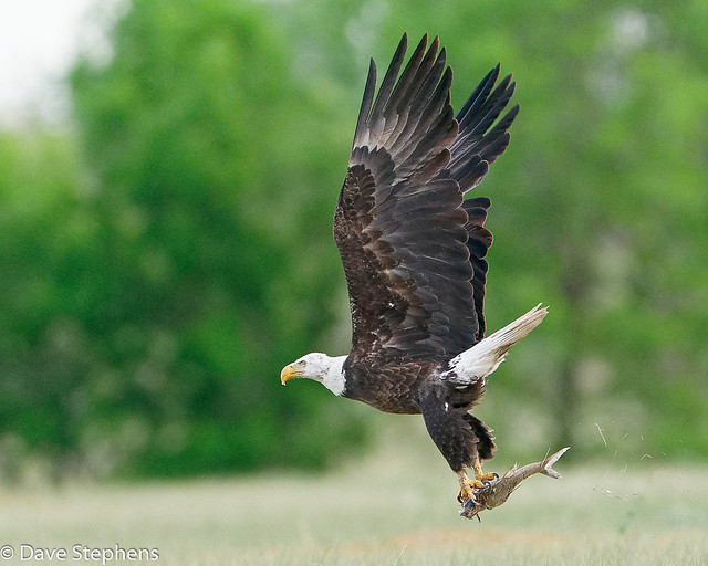 Eagle Flies Away With Its Catch