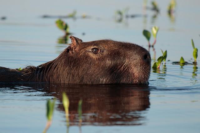Carpincho - Capybara
