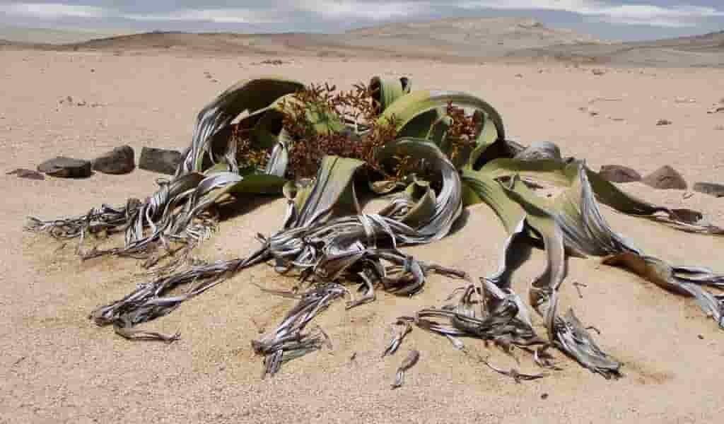 une-plante-étrange-menacée-par-le-changement-climatique