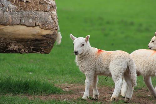 Spring Lambs (Max PA Wood)