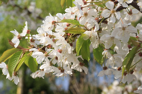 Cherry Blossom (Max PA Wood)