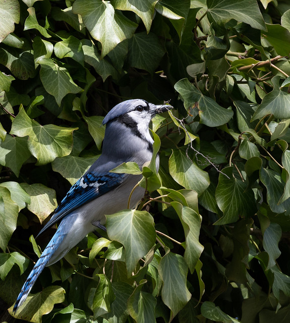 Blue Jay gathers material for a nest
