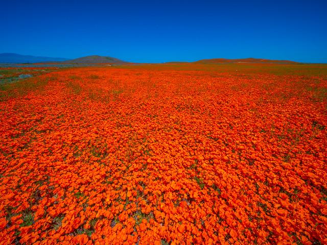 Peak Spring Bloom! California Poppy Reserve Superbloom Wildflower Poppies! Fujifilm GFX100 Elliot McGucken Medium Format Fine Art Landscape Nature Photography! Fuji GFX 100 Luxury Fine Art Prints! Venus Optics Laowa 17mm f/4 GFX Zero-D Lens Wide Angle