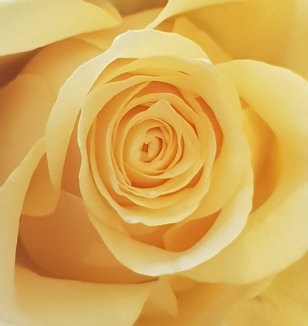 Rose in yellow.