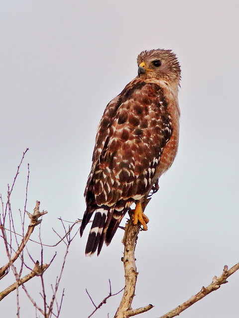 Red-shouldered Hawk 03-20200522