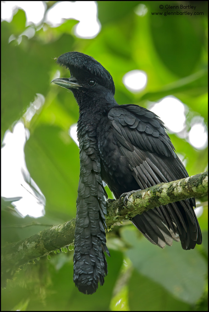Long-wattled Umbrellabird (Cephalopterus penduliger)