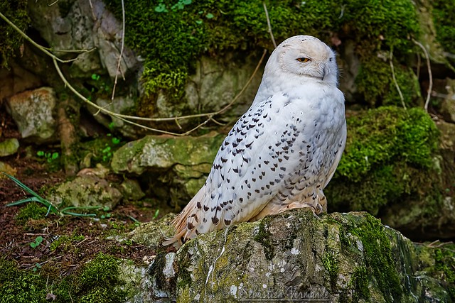 Snowy owl - Harfang des neiges