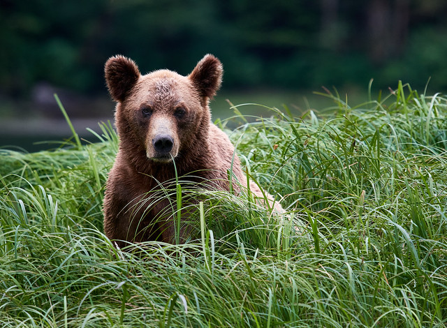 Contemplative Grizzly