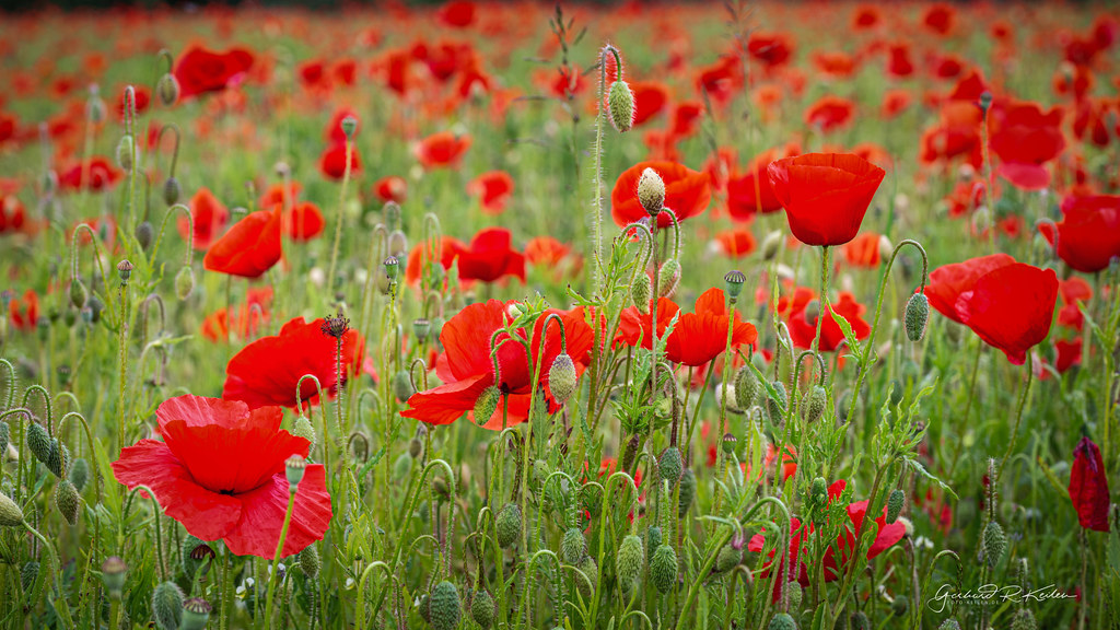 Field of poppies in the South Eifel!