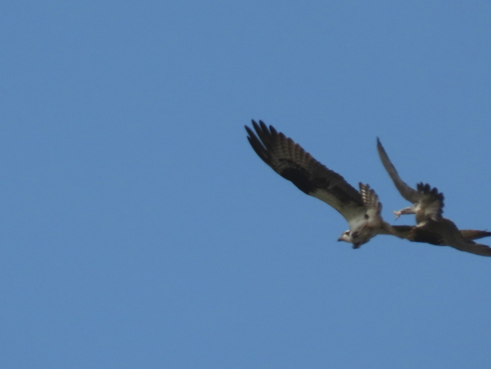 Peregrine vs Osprey