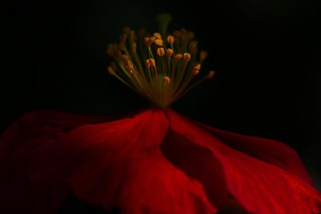 Helianthemum macro at Crescent Garden, Gosport