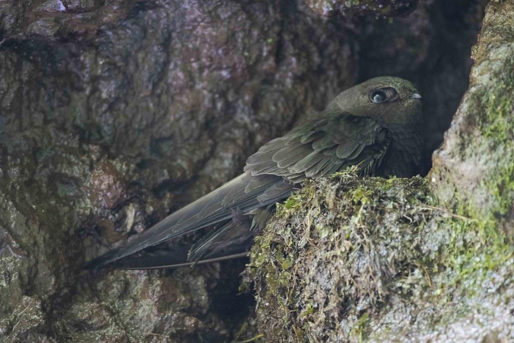 Imagen de una de las aves del Quindio: Vencejo Barbiblanco (Cypseloides cryptus)