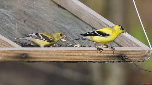 chardonneretjaune americangoldfinch carduelistristis beauce pq canada 6910 chardonneret jaune yellow goldfinch