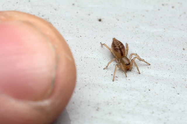 Smiley Spider - _TNY_4363