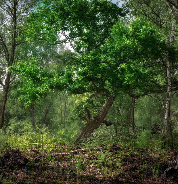 Lone Oak tree amongst the chaos