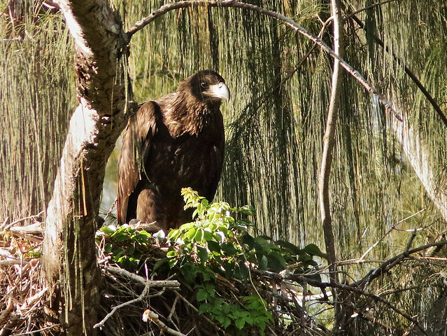 Bald Eaglet male P Piney 25 02-20200522
