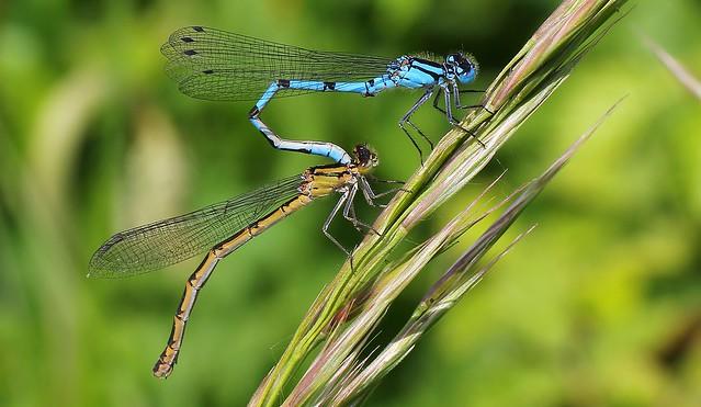 Common Blue Damselflies mating(nearly)- Enallagma cyathigerum-Dorset -090520 (8)