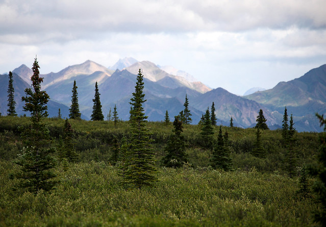 Spruce Trees and Mountains, Alaska Landscape