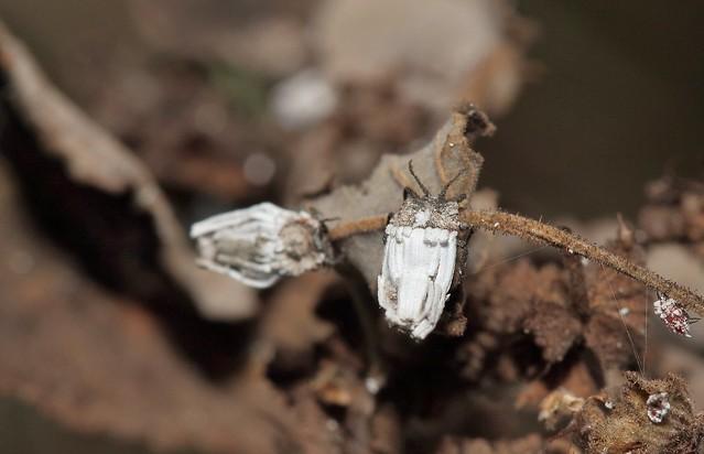 Ortheziidae