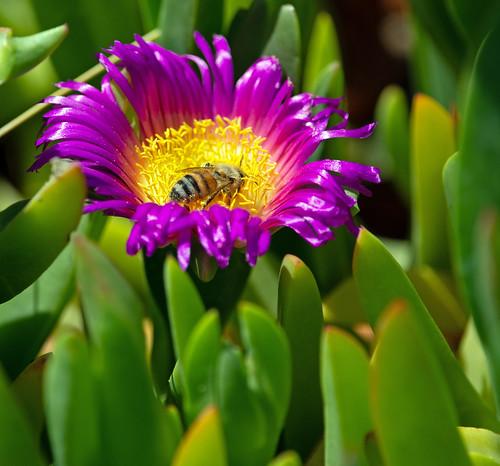 jeffreyneihart nikon nikond7200 nikkor afsnikkor300mmf4epfedvr nikonnikkor300mmf4epfedvr nikonafsnikkor300mmf4epfedvr iceplant bee pollinate flower california ranchocaliforniarvresort aguanga