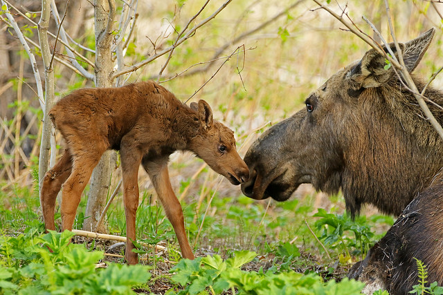 Newborn Moose Calf Getting Some Reassurance From Mom - In Explore
