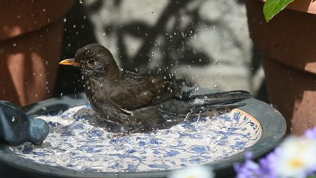 Blackbird Bathtime 1