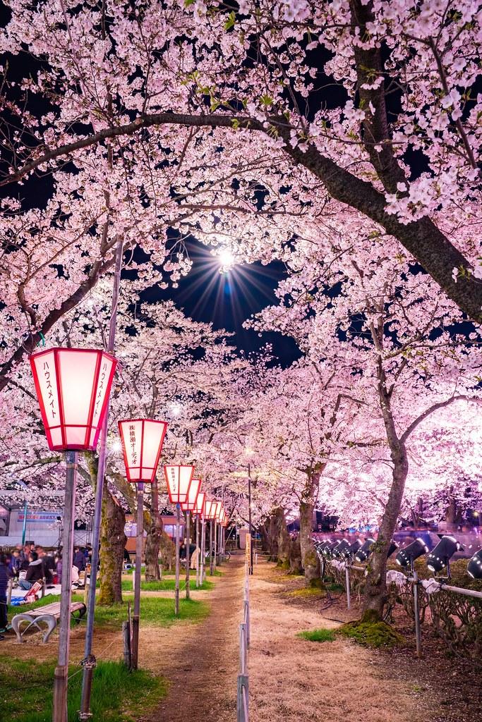高田公園の桜 日本三大夜桜 高田城百万人観桜会