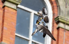 Peregrine Falcons, Derbyshire.