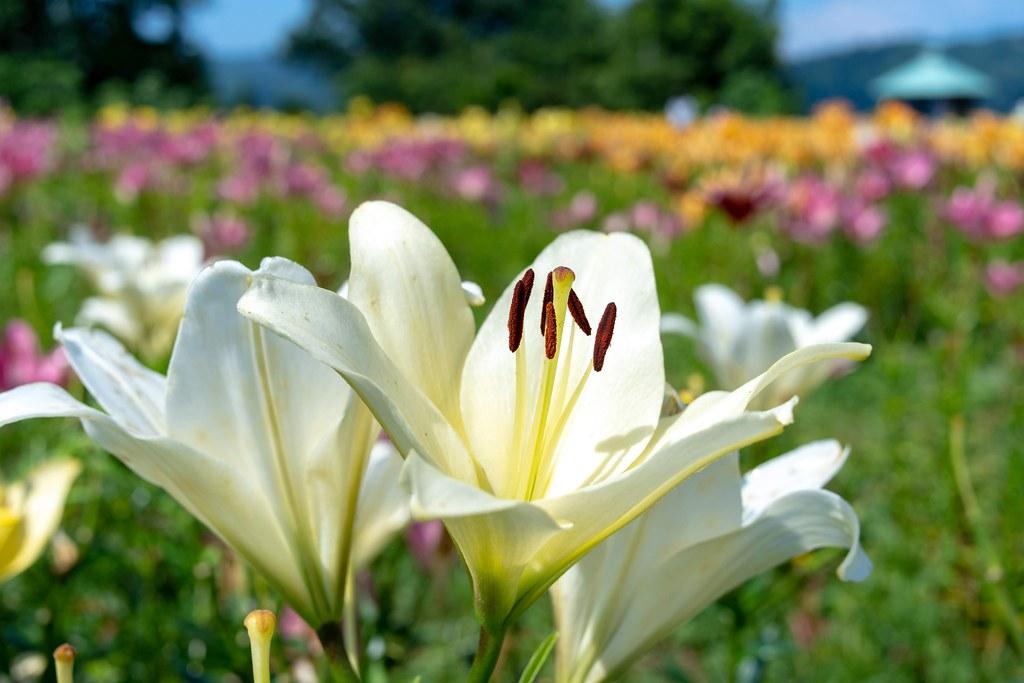 高台に咲くユリの花 魚沼市 月岡公園