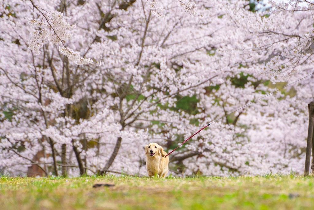 ワンコとお花見 悠久山 桜まつり 忠犬しろ神社