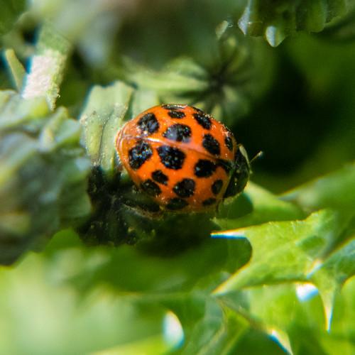 Harlequin ladybird on sowthistle plant