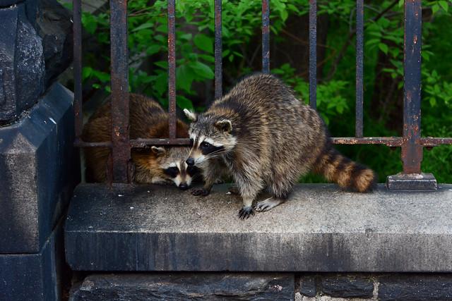 Morningside Raccoons - 5928