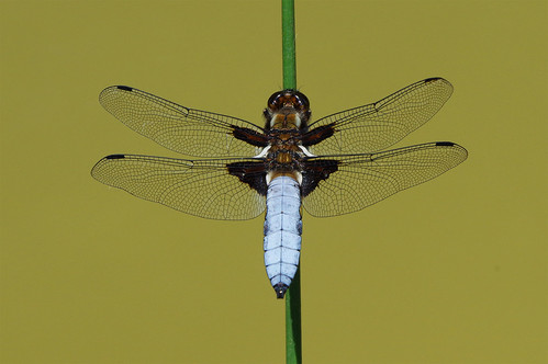 cambridgeshire monkswood libelluladepressa broadbodiedchaser dragonfly wild wildlife nature insect pond perched reed