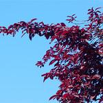 burgundy on blue