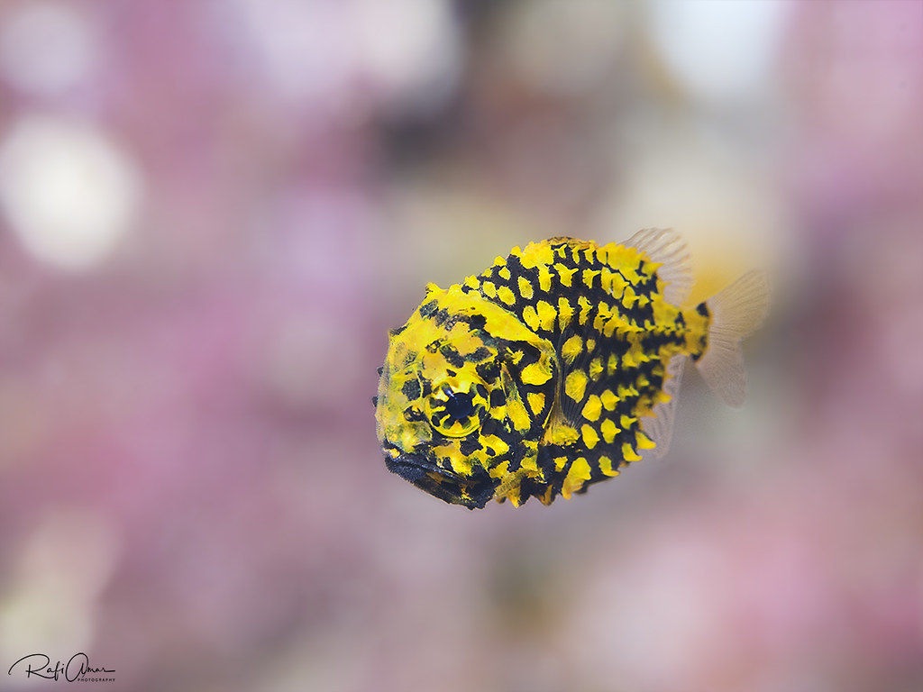 pineapple fish - Cleidopus gloriamaris