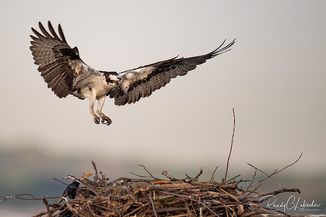 Osprey of the Jersey Shore | 2020 - 15