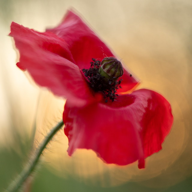 Poppy in evening light