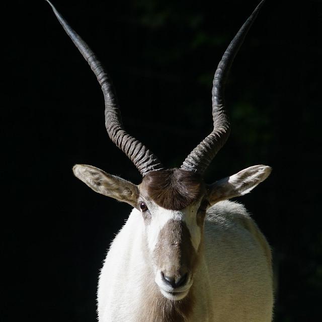 Tg Nbg          Mendesantilope          200518