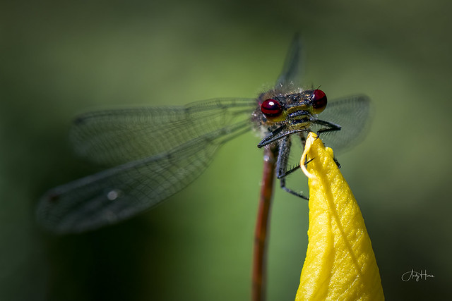 Large Red Damselfly (I think!)