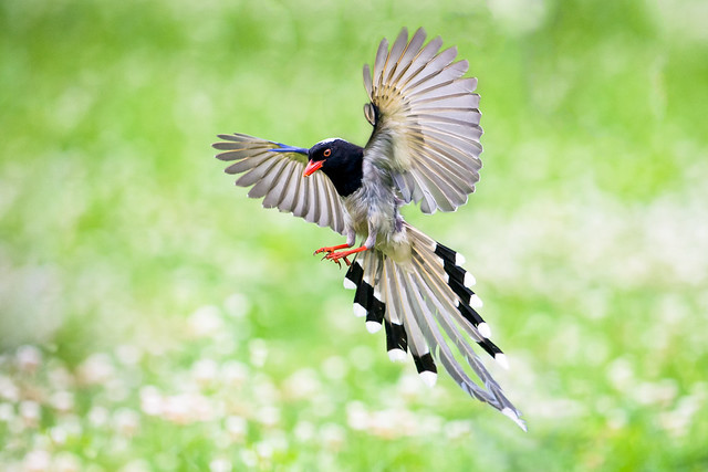 Red billed blue magpie (Urocissa erythroryncha)
