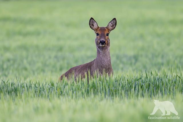 Roe Deer #Explored