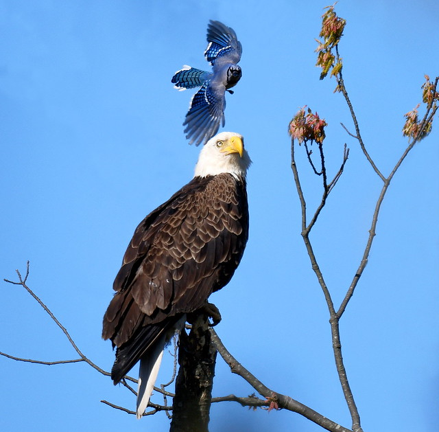 Bald Eagle Attacked by Blue Jay