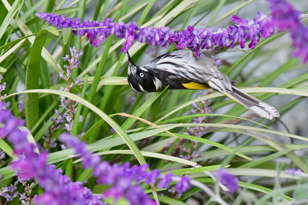 New Holland Honeyeater  ( not upside  down )