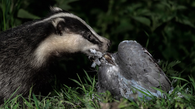 Badger with Pigeon
