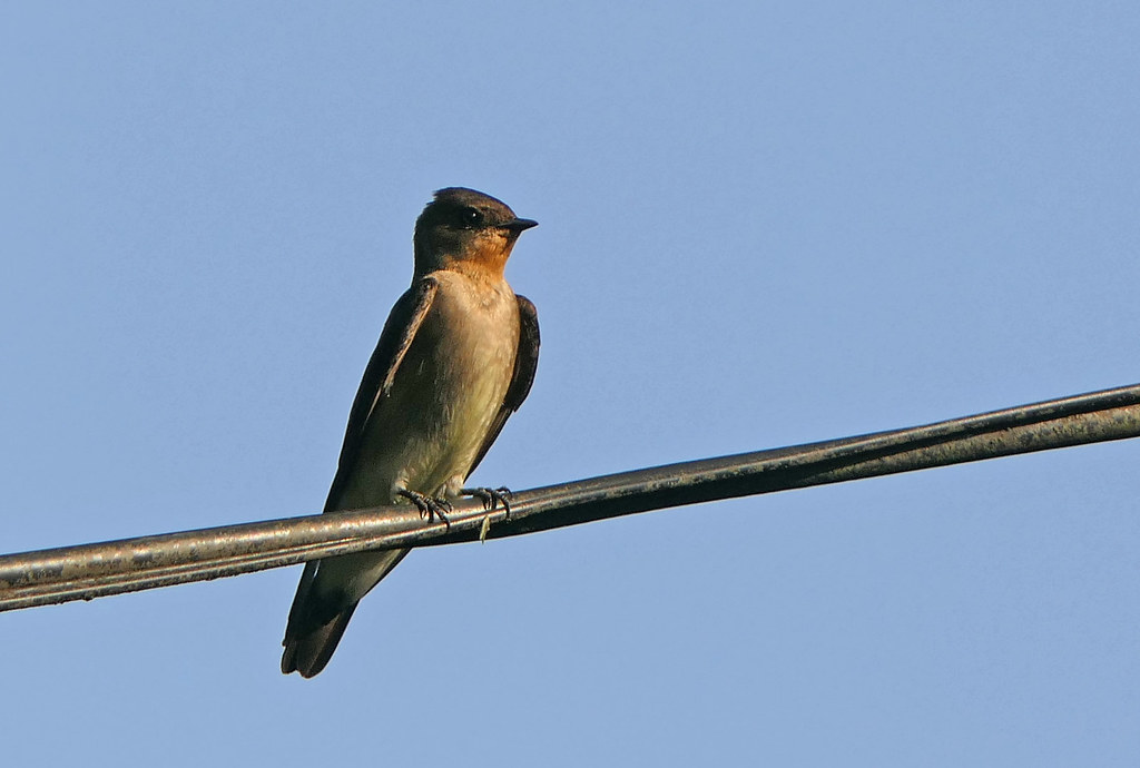 Golondrina Barranquera, Southern Rough-winged Swallow (Stelgidopteryx ruficollis)