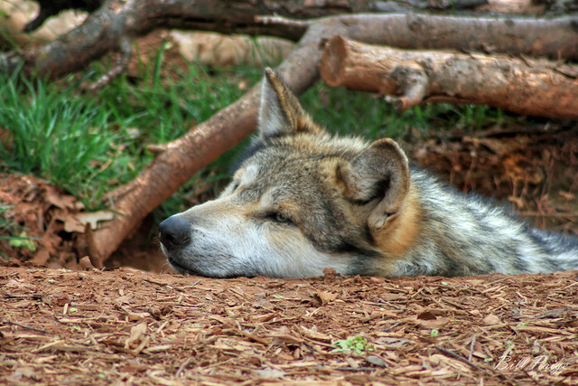 Resting Wolf Face