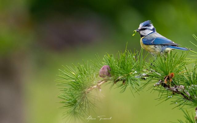 Mésange bleue (Vosges)
