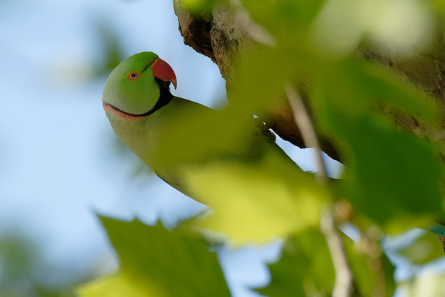 a male rose ringed parakeet at the nest (2/2)