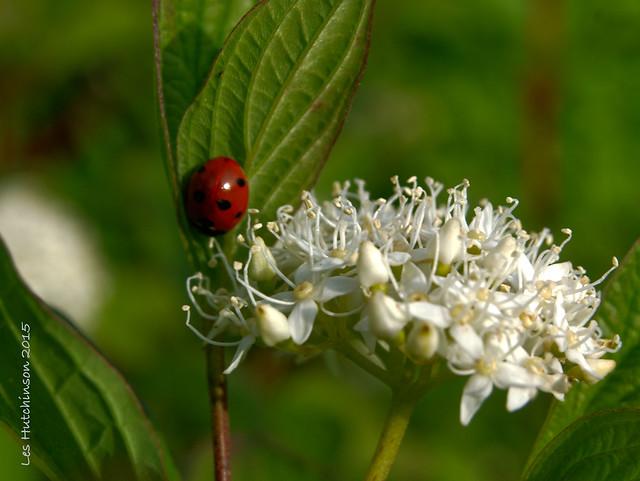 2015 05 30 - ladybird and dogwood