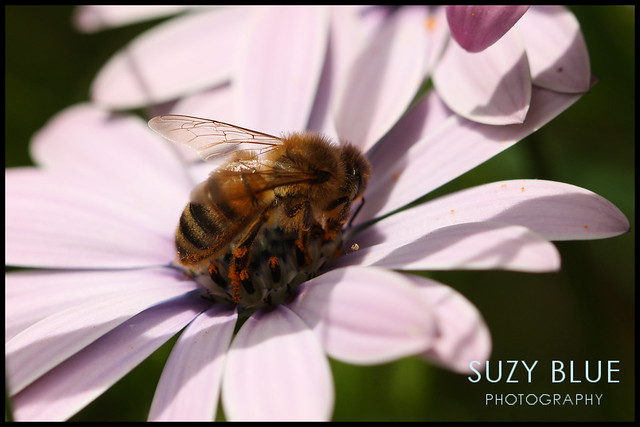 Honeybee on Osteospermum